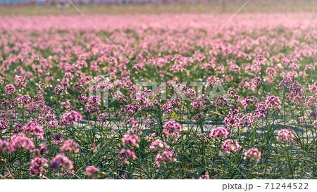 ラッキョウの花 (鳥取県北栄町) 71244522