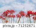 彼岸花 71252671
