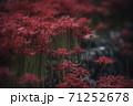 彼岸花 71252678