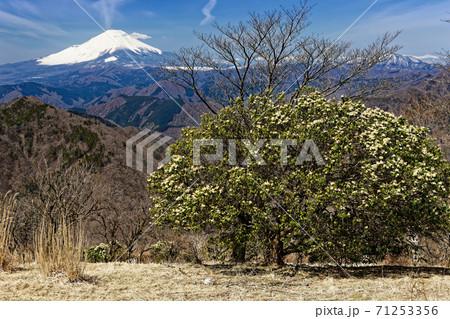 アセビ咲く春の鍋割山から見る富士山 71253356