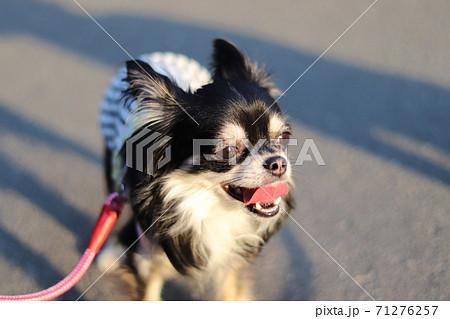 夕陽を浴びながら散歩する笑顔のチワワ 71276257