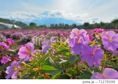 山中湖花の都公園のサンパチェンスのお花畑の花のアップ 71279399