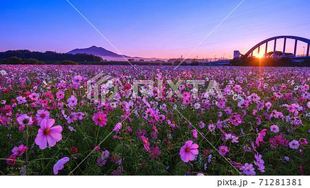 小貝川ふれあい公園の秋桜 71281381