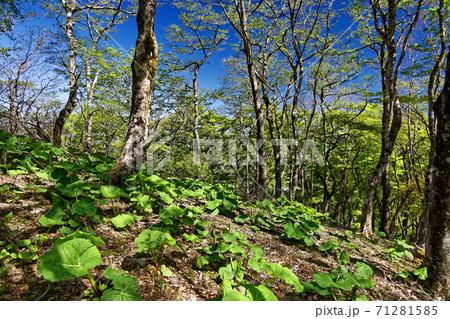 丹沢・鍋割山稜のブナの新緑とフキ 71281585
