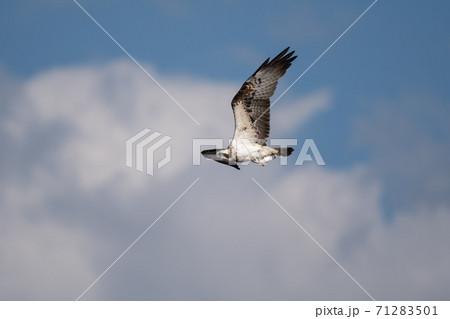 秋、魚を鷲掴みして飛翔するミサゴ 71283501