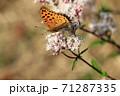 ツマグロヒョウモン 71287335