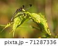 シオカラトンボ 71287336