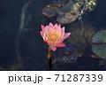 ピンク色のスイレン 71287339
