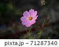 ピンク色のコスモス 71287340