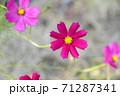 濃いピンク色のコスモス 71287341