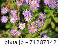 紫色の野菊 71287342