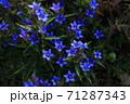 群生するリンドウの花 71287343