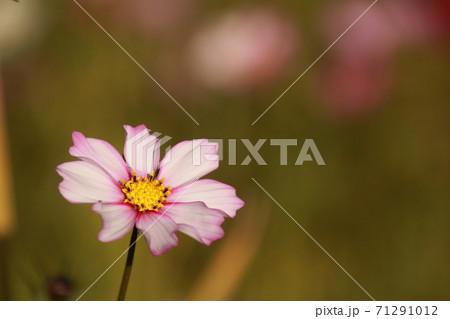 愛媛県三間町のコスモス畑 一輪のコスモスの花 71291012