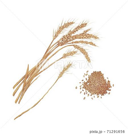 小麦 71291656