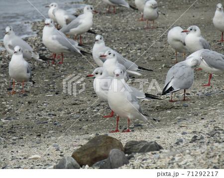 検見川浜で休憩中の冬の渡り鳥ユリカモメ 71292217
