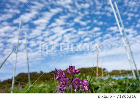 家庭菜園における島ラッキョウの栽培(花) 71305216