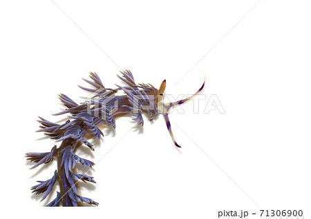 ムカデミノウミウシのアップ 白バック 71306900