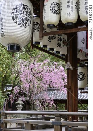 上御靈神社(御靈神社) 紅枝垂れ糸桜 71309201