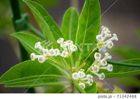 チュウコウボク(昼香木)別名:デイジャスミンの白い花が咲いた(日本、秋に撮影) 71342488