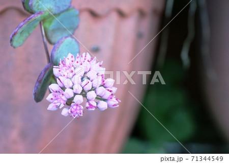 あまり見かけないこの花はミセバヤ 71344549