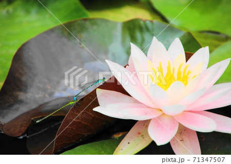 ピンクの睡蓮と二色のモノサシトンボ 71347507