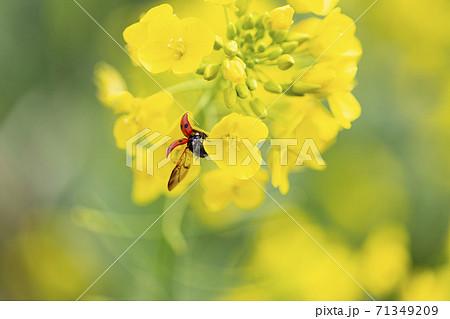 3月に江戸川菜の花ロードに咲き誇る菜の花とてんとう虫 71349209