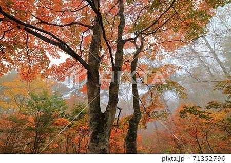 志賀高原坊平シラカバ園地のブナ黄葉を包む霧 71352796