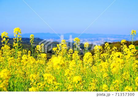 【兵庫県 淡路市】明石海峡大橋を見下ろす黄色いじゅうたん 71357300