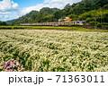 chrysanthemum farm and railway in miaoli, taiwan 71363011