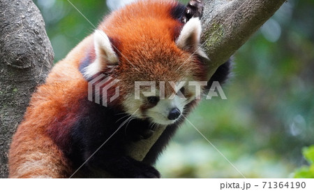 好奇心旺盛な木登りレッサーパンダ 71364190