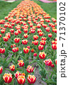 Beautiful colored tulip fields. Holland during spring. Impossible scent. Colorful 71370102