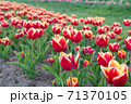 red vibrant flowers. field with tulips in netherlands. tulip field  71370105