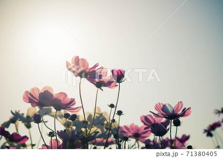 秋の花 コスモスのピンク色の花畑 71380405