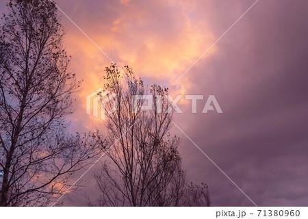 紫に染まる夕空と枯れ木のシルエット 71380960
