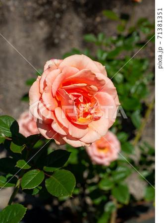 10月の晴れた日の満開のバラ(アシュラム) 71381351