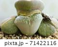 リトープスの脱皮 横から出るタイプ 多肉植物 メセン クローズアップ 71422116