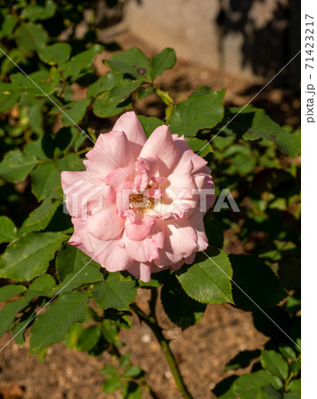 10月の晴れの日のピンクのバラ(ブライダルピンク_縦撮り) 71423217