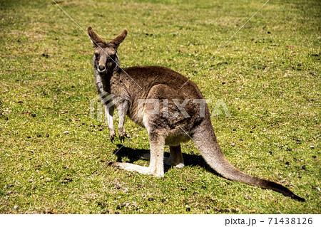 オーストラリアの草原に生きる野生のカンガルー 71438126