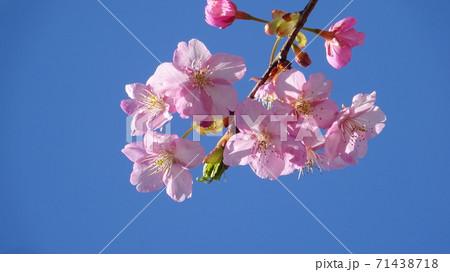 春の青空にひっそりと咲くさくらの花 71438718