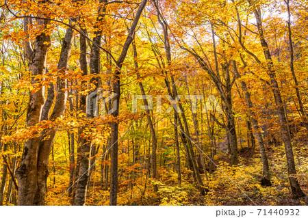 《青森県》秋の白神山地・黄葉のブナ林 71440932