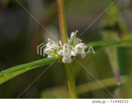 湿地に咲く白い小花「ヒメシロネ」 11月上旬撮影 71446252