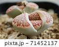 リトープスの脱皮 多肉植物 クローズアップ 71452137
