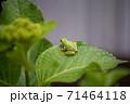 葉っぱの上にいる小さなカエル 71464118