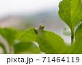 葉っぱの上にいる小さなカエル 71464119