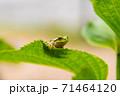 葉っぱの上にいる小さなカエル 71464120