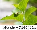 葉っぱの上にいる小さなカエル 71464121