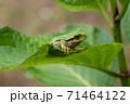 葉っぱの上にいる小さなカエル 71464122