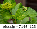 葉っぱの上にいる小さなカエル 71464123