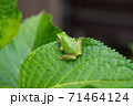 葉っぱの上にいる小さなカエル 71464124
