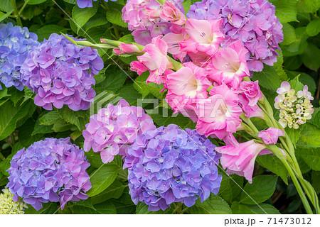 アジサイとグラジオラスの花 71473012